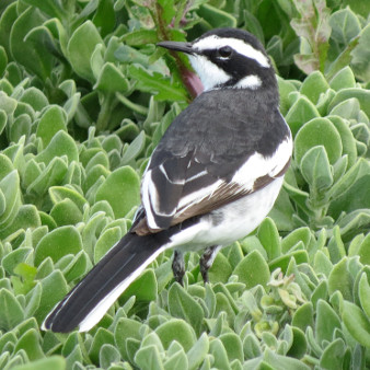 African Pied Wagtail