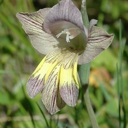 Gladiolus carinatus flowering at Zandvlei now.
