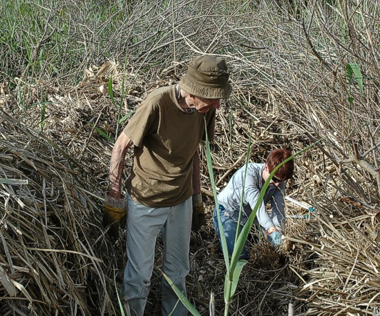 Robin and Sue working on the monster of a Pampas Grass plant.