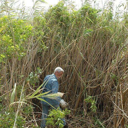 Bert cutting a copsed Brazilian Pepper down in the reeds