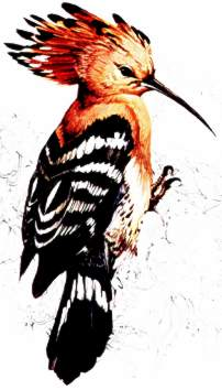 European Hoopoe ( Upupa epops ) from Book of British Birds by Readers Digest published 1969.