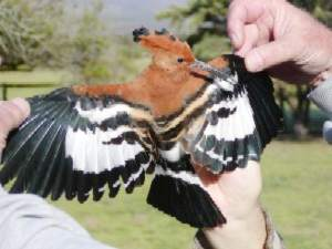 A male Hoopoe at the De Hoop Nature Reserve.