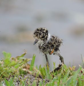 Blacksmith lapwing hatchling