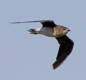 Blackwinged Pratincole