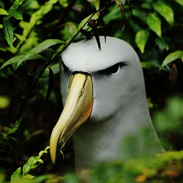Second record of Salvin's Albatross on Gough Island