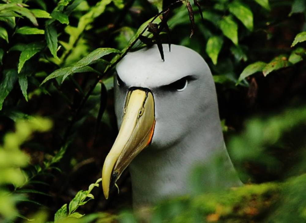 Salvin's Albatross on Gough Island