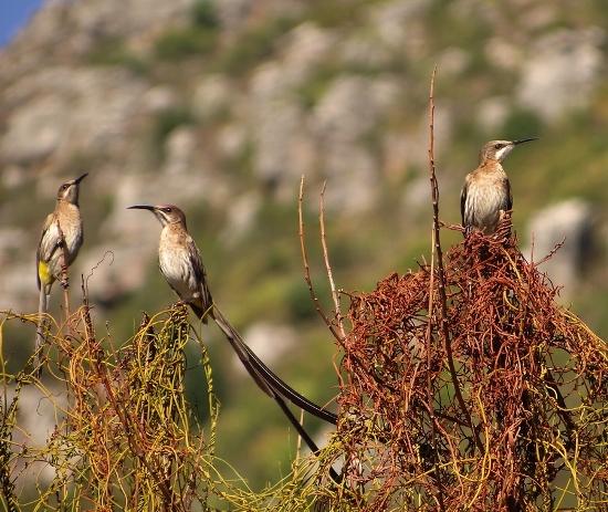 Cape Sugarbirds