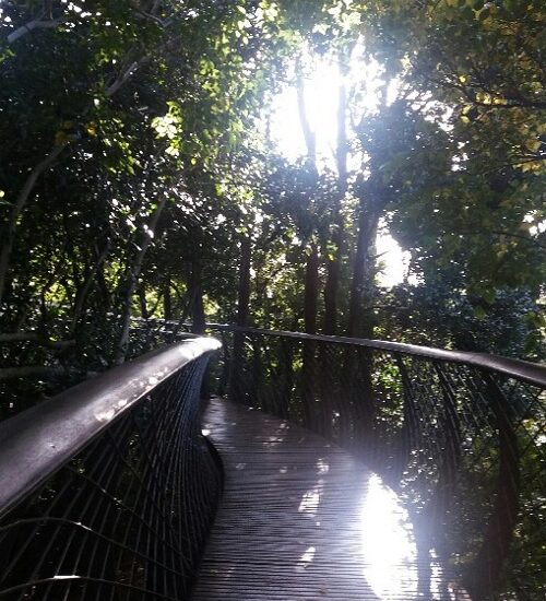 The winter sunlight streaming through the canopy on the Boomslang walkway.