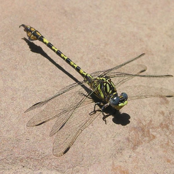 Dragonflies & Damselflies of the Western Cape – the Course