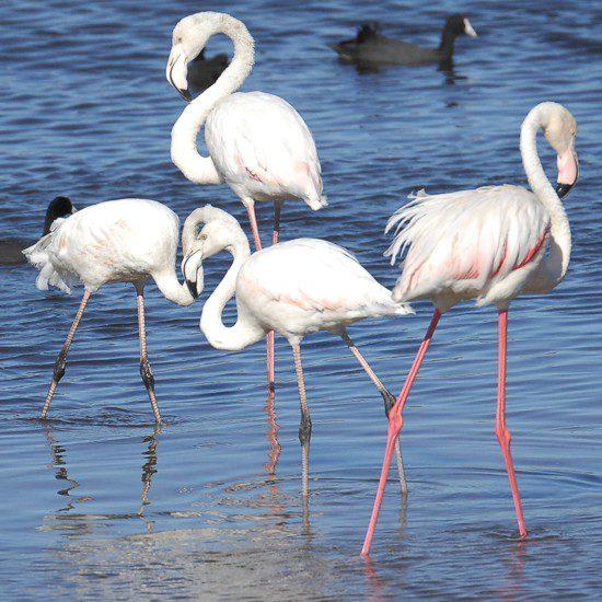 Birdathon May 2013, Strandfontein, Southern Birding Area, False Bay Nature Reserve Greater Flamingo, Strandfontein, Gavin Lawson, Birdathon 2013,