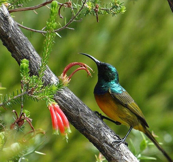 Cape Bird Club Kirstenbosch Orange-Breasted Sunbird 01 03012017 john rogers