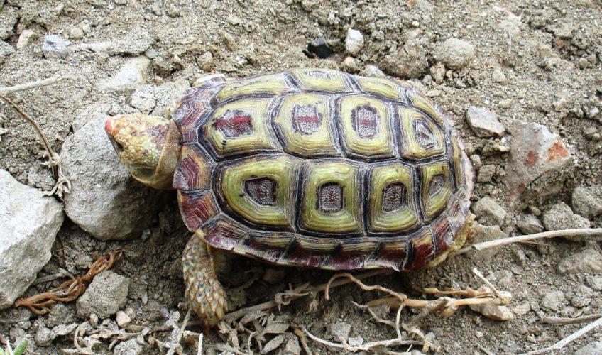 parrot-beked tortoise