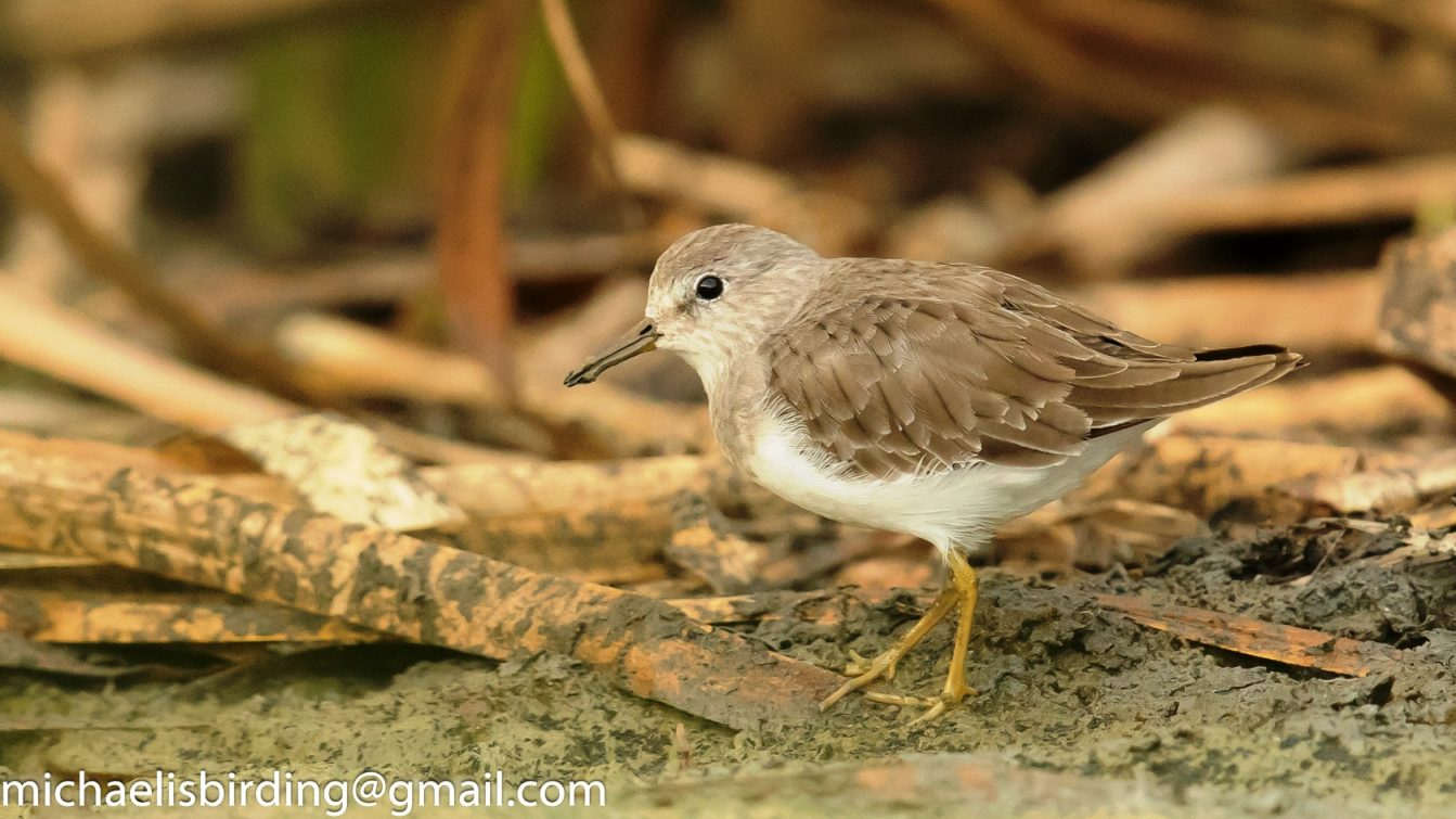 Temminck Stint