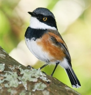 Cape Batis - photograph by Greg Morgan