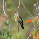 Malachite Sunbird