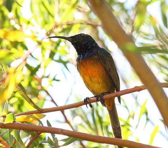 Male Orange Breasted Sunbird. Kirstenbosch photograph by Marlene Hofmeyer.
