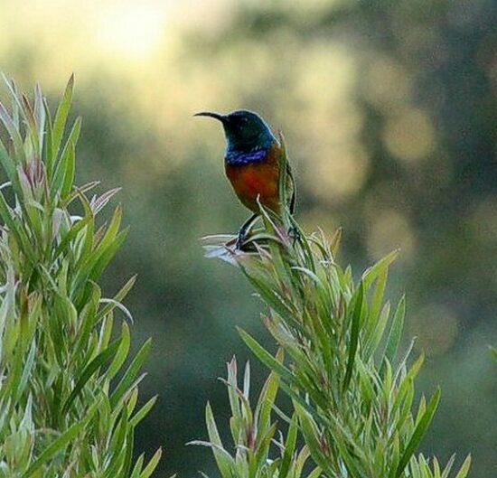 Orange Breasted Sunbird - Kirstenbosch. Photograph by Marlene Hofmeyr.