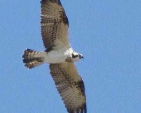 Osprey by Frank Hallett April 2012
