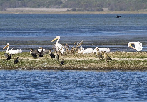 Pelicans and Cormorants by Frank Hallett April 2012