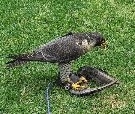Peregrine Falcon with its reward. Photograph by Priscilla Beeton