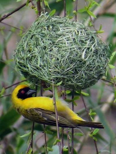 Southern Masked Weaver. Photograph by John Fincham