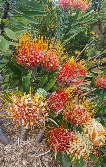 The beautiful flowering shrubs to be seen. Kirstenbosch Photograph by Cheryl Faull