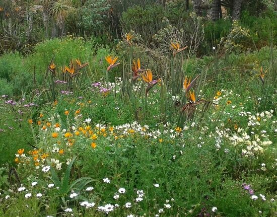 The pretty spring flowers are in abundance. Kirstenbosch Photograph by Cheryl Faull