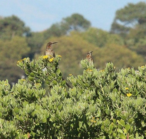 A pair of Cape Sugarbirds, Kirstenbosch. Photograph by Marlene Hofmeyr.