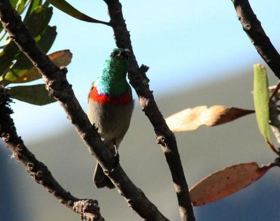 Southern Double-collared Sunbird, Kirstenbosch. Photograph by photograph by Marlene Hofmeyr.