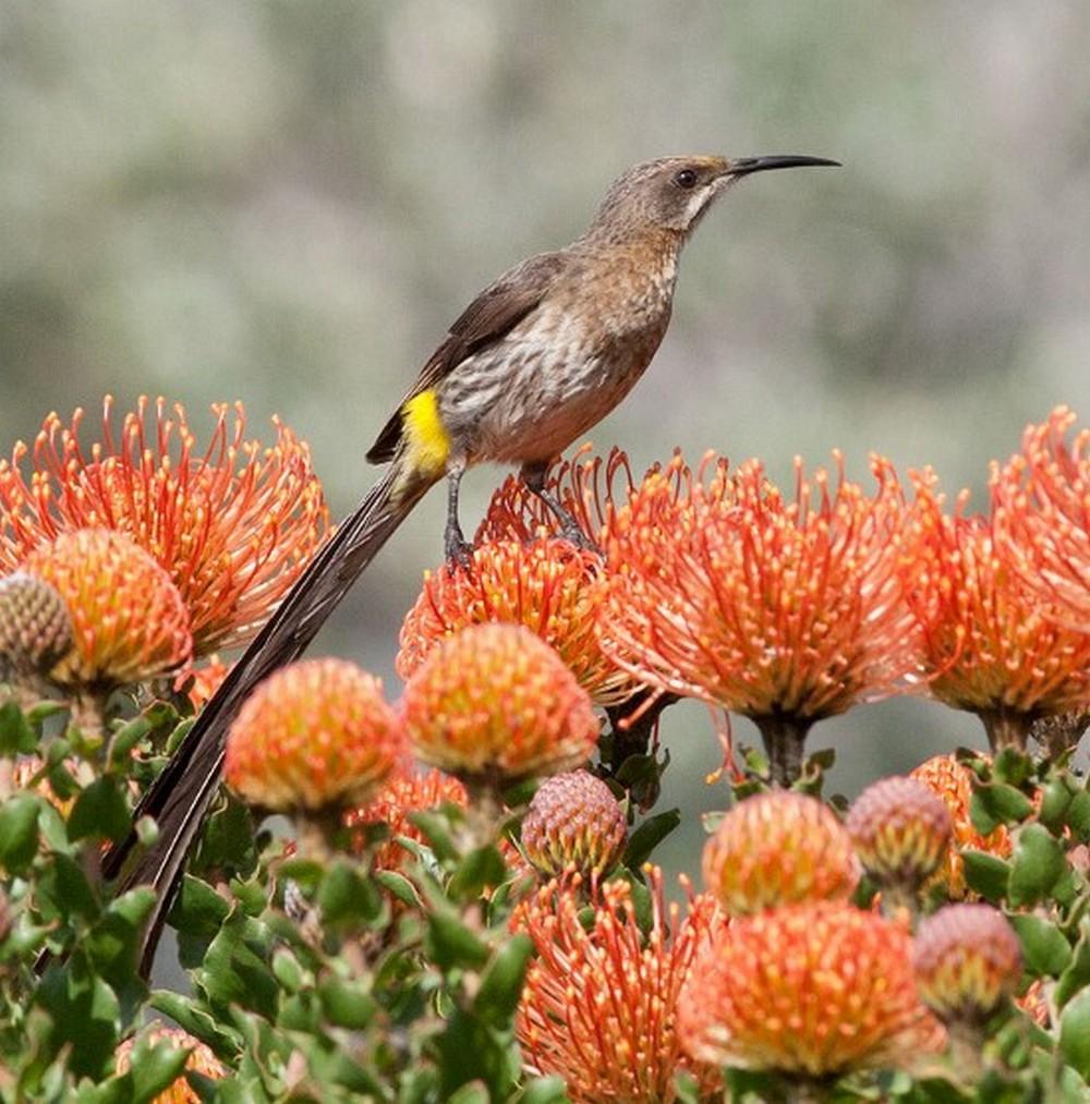 Cape Sugarbird Kirstenbosch by Limdsay MacDonald August 2014