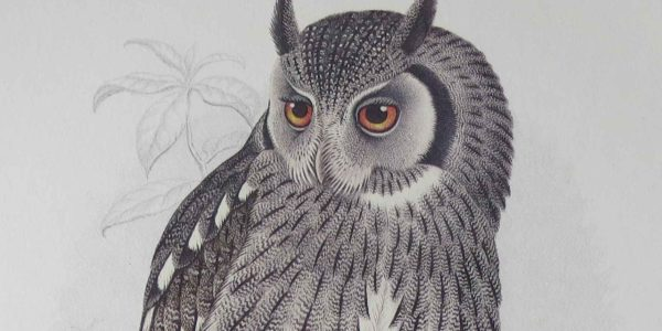 Owl illustrations for auction