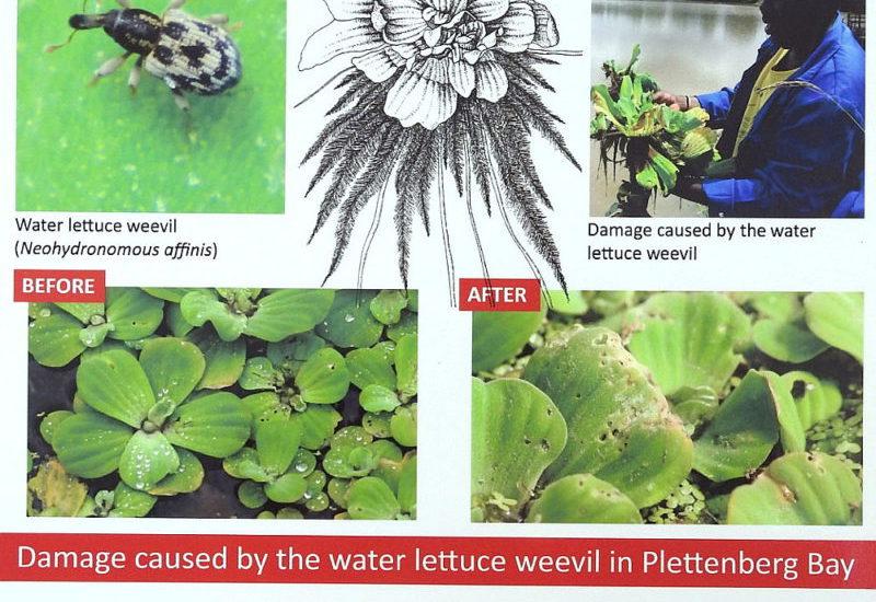 Water Lettuce poster.  photo  by John Fincham.