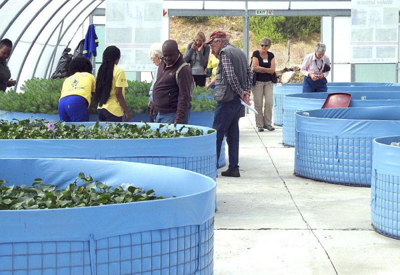 Water Hyacinth tanks 01.  photo by John Fincham.