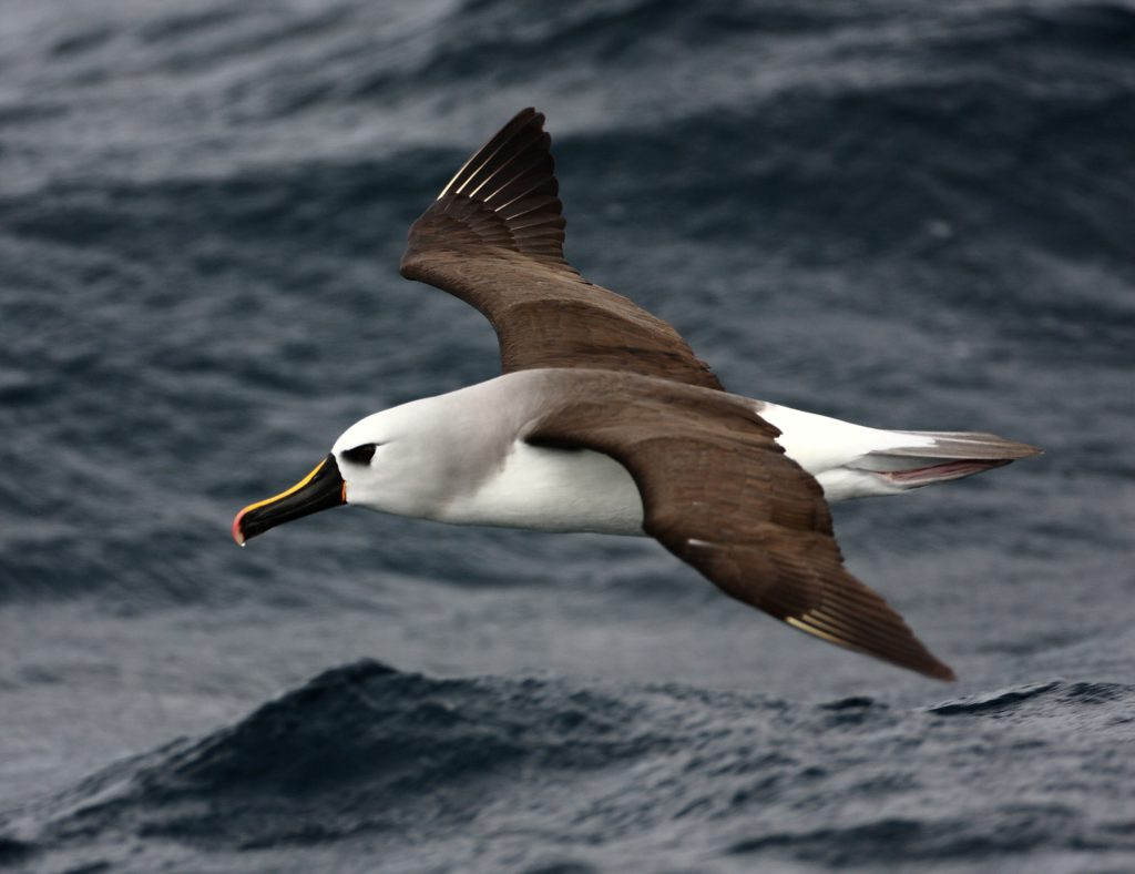 Atlantic Yellow-nosed Albatross - Ross Wanless