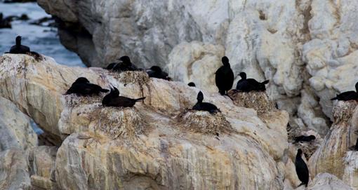 Breeding Bank Cormorants - Mark Anderson