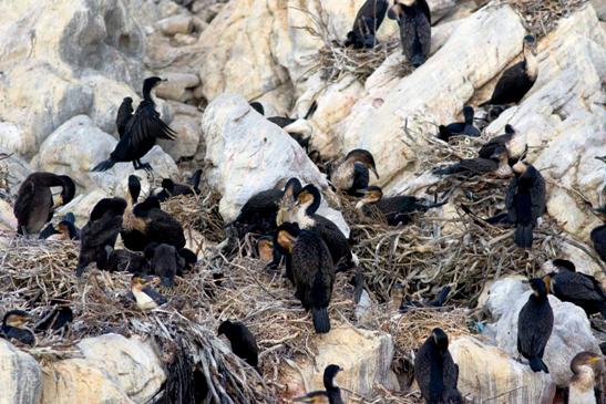 Breeding White-breasted Cormorants - Mark Anderson