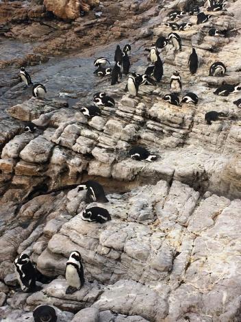 Stony Point penguins - Bronwyn Marais
