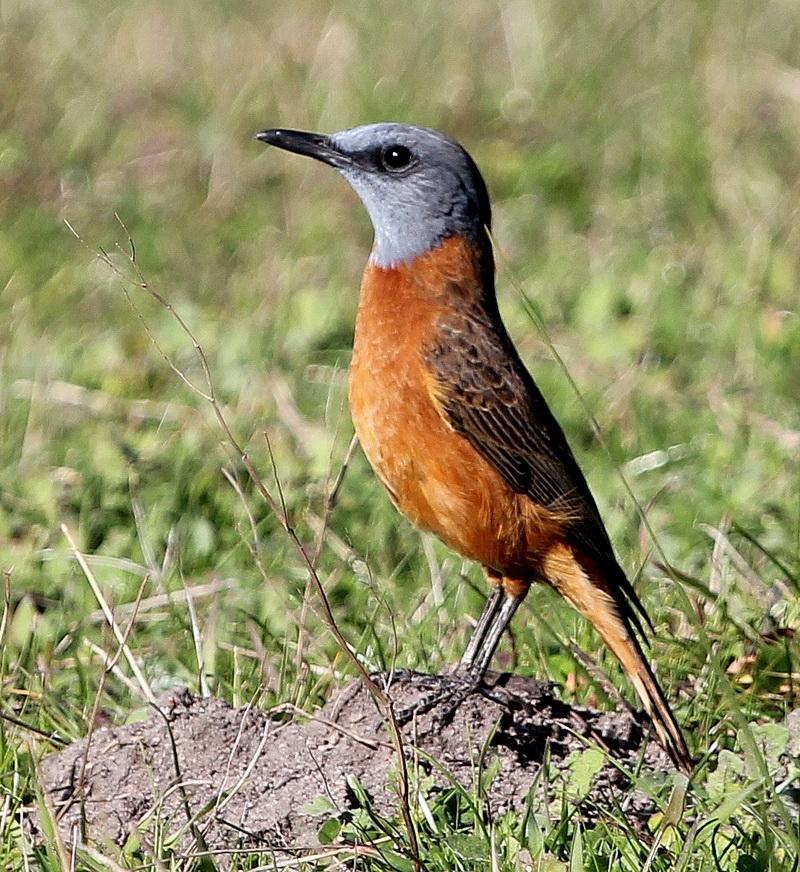 Cape Rock-Thrush male - Otto Schmidt