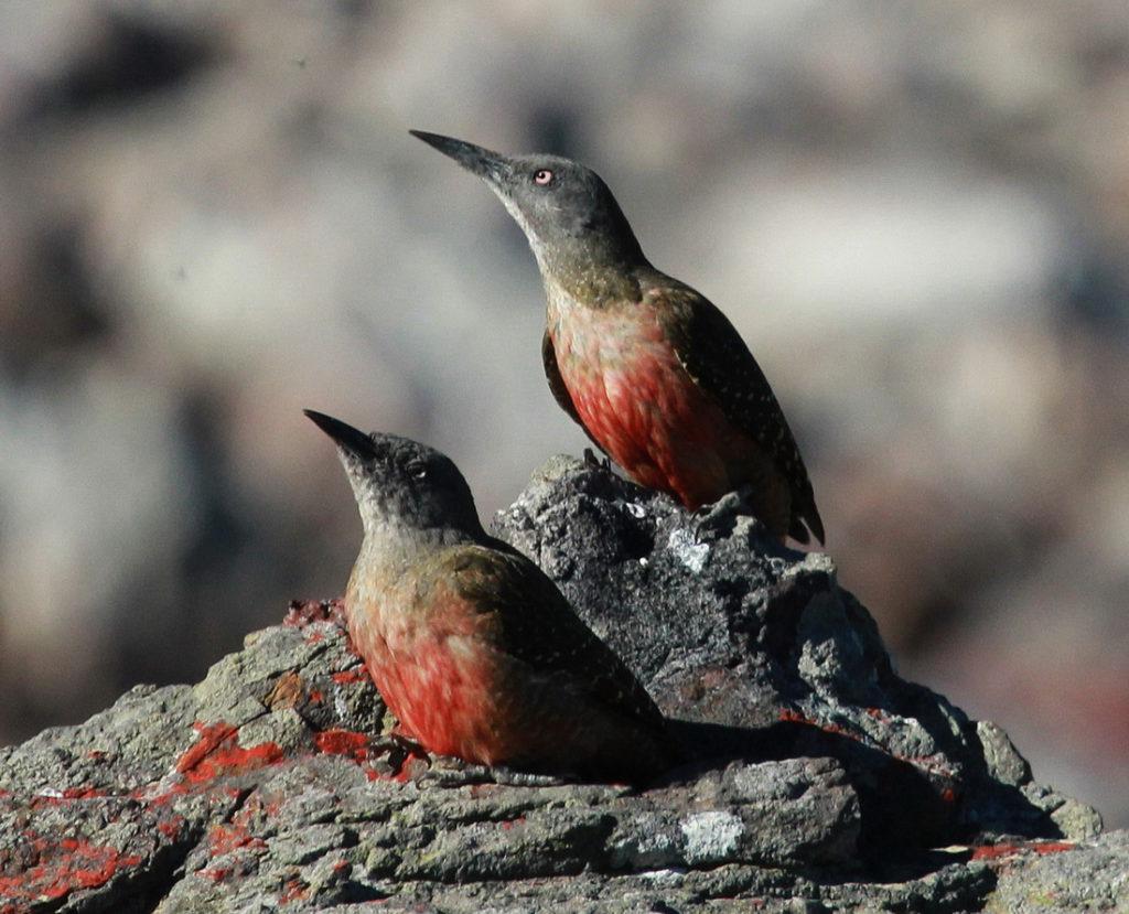 Ground Woodpecker - Otto Schmidt