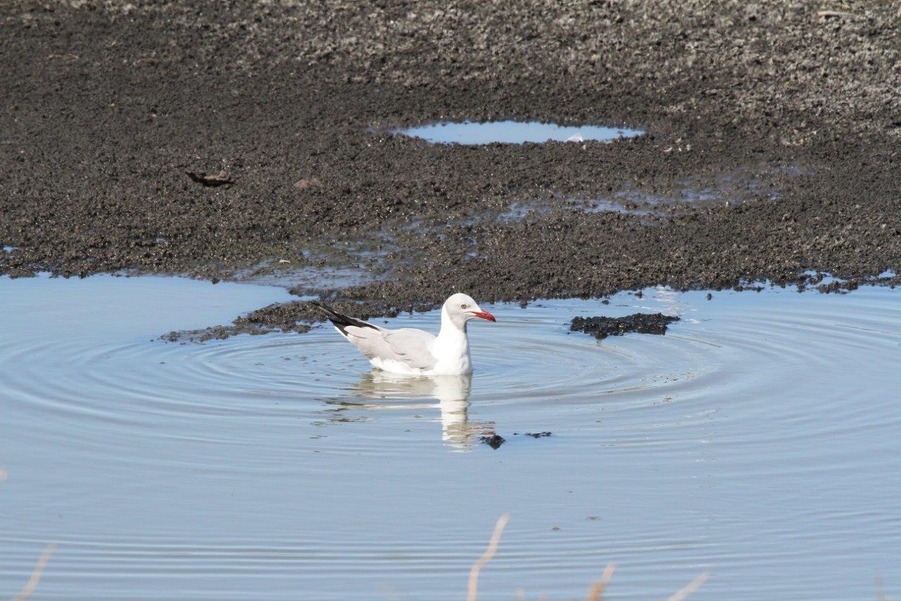 Grey Headed Gull on E pan. Photograph by Gilbert Reinhardt