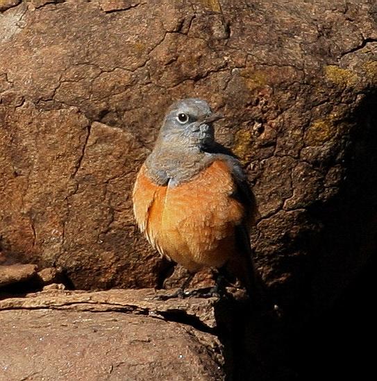 Sentinel Rock-Thrush male - Otto Schmidt