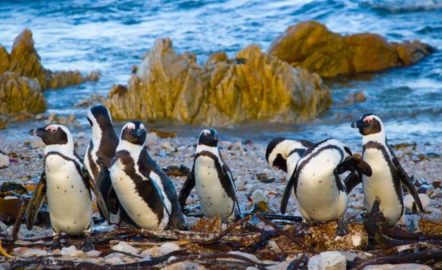 Stony Point penguins - Mark Anderson