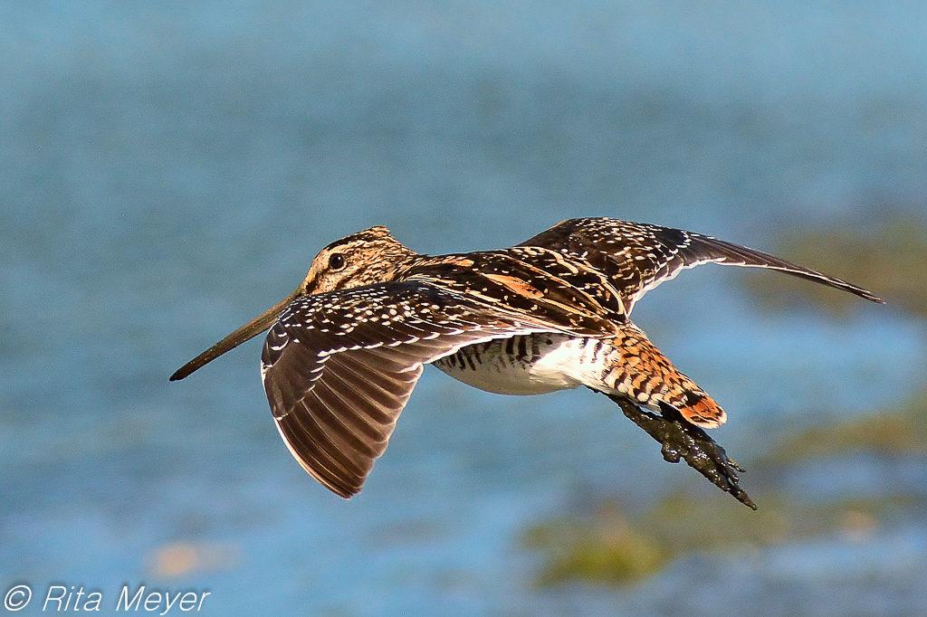 African Snipe in flight - Rita Meyer