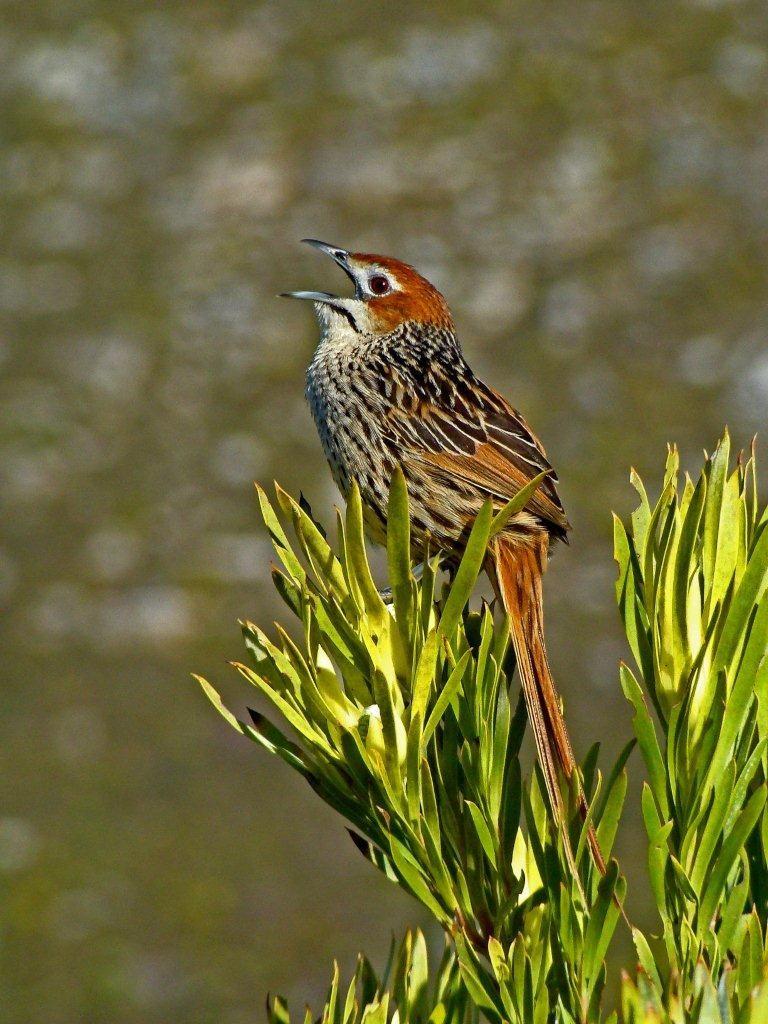 Cape Grassbird - Derek Longrigg