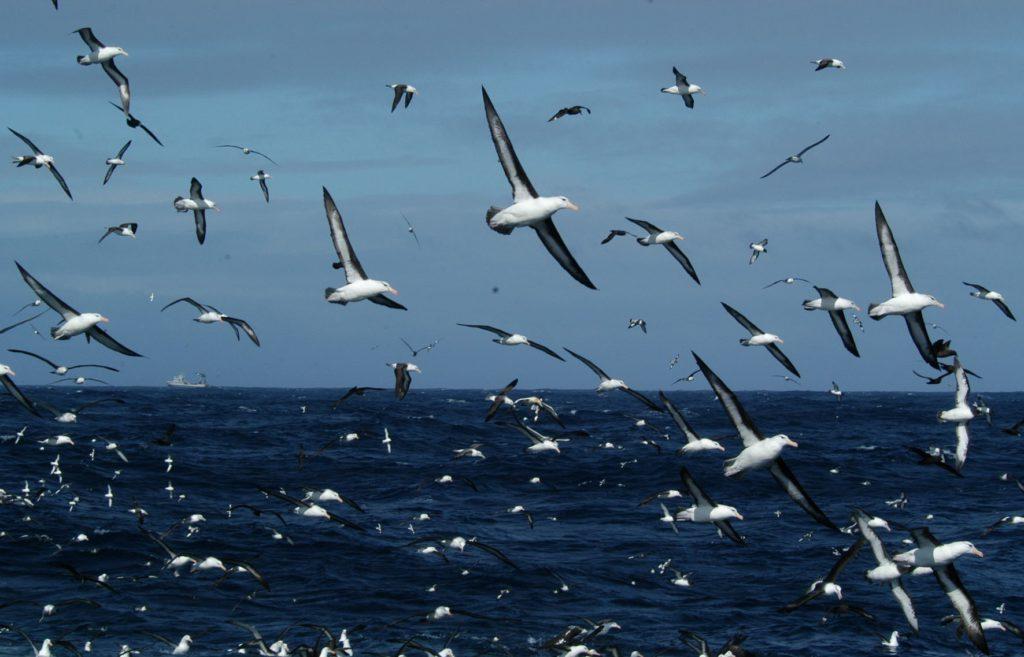 Mixed Flock seabirds - John Graham