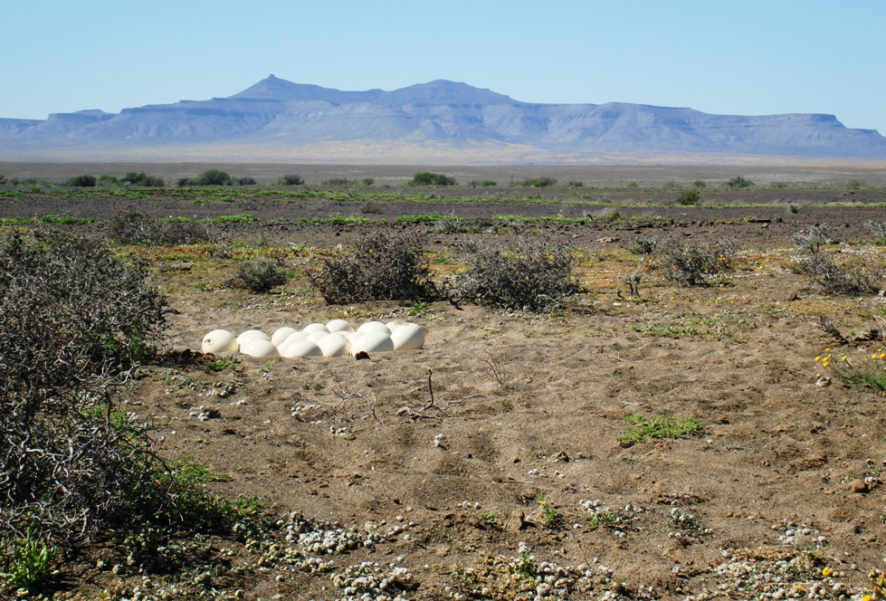 Ostrich nest on the P2250 - Mel Tripp