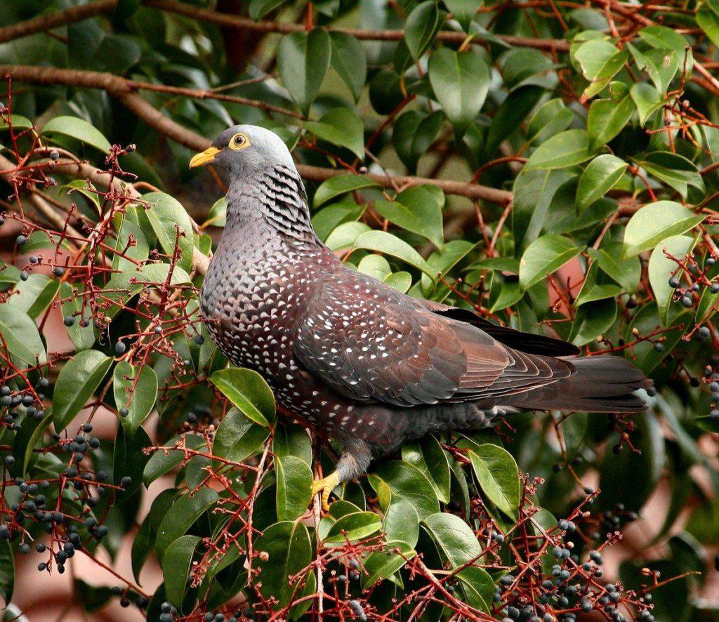 African Olive (Rameron) Pigeon - Derek Longrigg