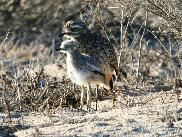 Spotted Thick-knee and chick - Steve Davis