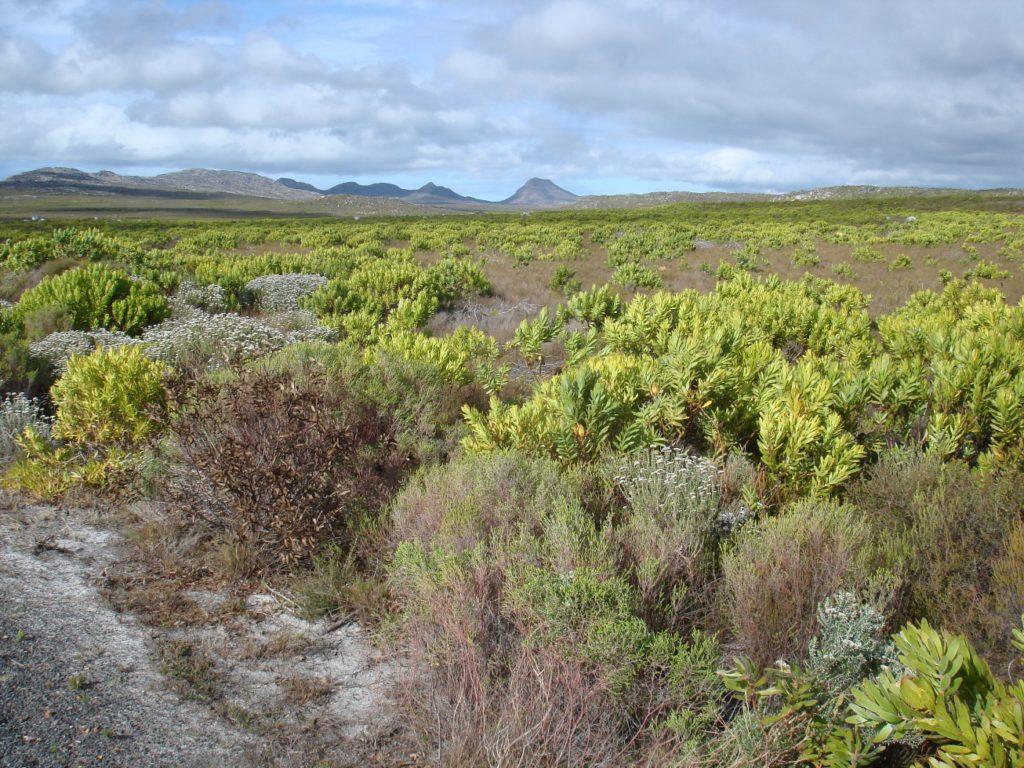Stands of Leucadendron Fynbos - Mel Tripp