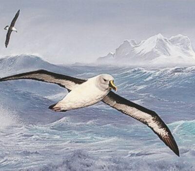 cbc-painting albatross LF feb 2008